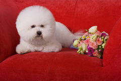 Bichon Frise. A white Bichon Frise focus at something Stock Photography
