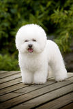 Bichon Frise. A white Bichon Frise focus at something Stock Image