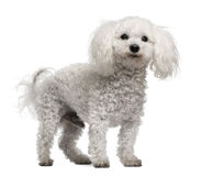 Bichon frise, 12 years old, standing Royalty Free Stock Photo
