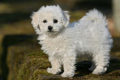 Bichon frise. Close-up of a young bichon frise puppy Royalty Free Stock Photo