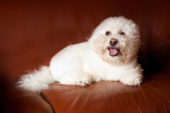 A Bichon Frise. Dog sitting on brown leather chair Stock Photo