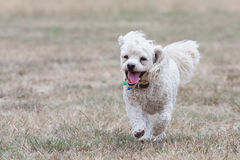Bichon Frise stock photos