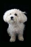 Bichon Frise. A cute and cuddly Bichon Frise Dog on a black background Stock Images