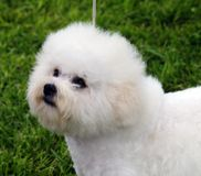 Bichon Frise. Portrait shot of a Bichon Frise Dog Royalty Free Stock Image
