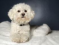 Bichon Frise. A Bichon Frise sitting down looking for something to do Royalty Free Stock Photos
