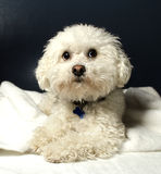 Bichon Frise. A Bichon Frise sitting down looking like he is sad or lonely Royalty Free Stock Photography