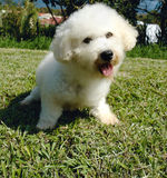 Bichon frise Royalty Free Stock Photo