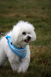 Bichon Frise. Cute little bichon frise puppy out on a walk in the countryside Stock Photography
