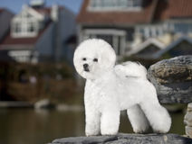 Bichon Frise. Small white dog stood on a rock Stock Photography