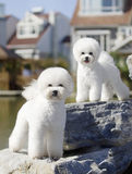 Bichon Frise. Naive stands ideally compared to bear dog white lovable France looks up to lively quiff river water villa stone observation cool lover brothers Stock Images