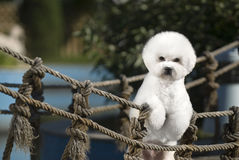 Bichon Frise Royalty Free Stock Photos