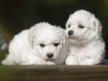 Bichon Frise. Naive lies prone compared to bear dog white lovable France lively quiff observation attractive beautiful two young tender flowers and plants Royalty Free Stock Photography