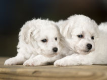 Bichon Frise. Naive lies prone compared to bear dog white lovable France lively quiff observation attractive beautiful two young tender flowers and plants Stock Images