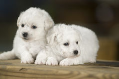 Bichon Frise Royalty Free Stock Images