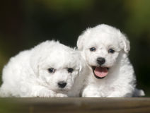 Bichon Frise. Naive lies prone compared to bear dog white lovable France lively quiff observation attractive beautiful two young tender flowers and plants Royalty Free Stock Photos