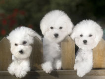 Bichon Frise. Naive lies prone compared to bear dog white lovable France lively quiff observation attractive beautiful three young tender flowers and plants Royalty Free Stock Photo