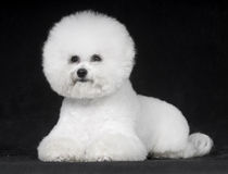 Bichon Frise. The French companion dog small dog white small quiff happy lovable curious vigilant sensitive mischievous happy temperate black indoor falls face royalty free stock images