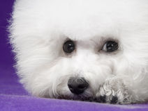 Bichon Frise. The French companion dog small dog white small quiff indoor purple background falls face down the forehead feature article, but the pitiful pure royalty free stock photography