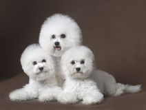 Bichon Frise. French companion dog small dog white small quiff indoor three lovable unity harmonious beautiful triangle coffee color family photo attractive royalty free stock photography
