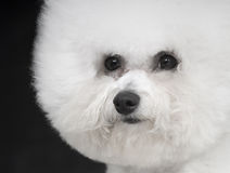Bichon Frise. A French companion dog small dog white small quiff indoor black big feature article naive lovable dedicated imagines the lively makings earnestly royalty free stock photography