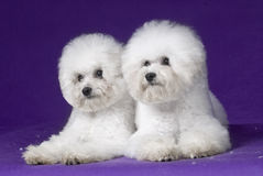 Bichon Frise. French companion dog small dog white small quiff indoor two suffer front the purple the happy lovable naive snow white moving cotton candy to be royalty free stock photos
