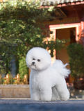 Bichon Frise. The French companion dog small dog white small quiff outdoors scenery stands standard big tree red Mungu generation of Qing Dynasty China serious royalty free stock photos