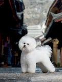 Bichon Frise. The French companion dog small dog white small quiff outdoors scenery lane stands the standard classical hut south of Yangzi River alley China royalty free stock images