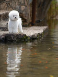 Bichon Frise. The French companion dog small dog white small quiff outdoors stone shore looked that the river water bog seaweed bridge bottom stands the royalty free stock photography