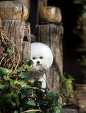 Bichon Frise. French companion dog small dog white small quiff outdoors stone pillar wood cloudless day sunlight hideaway careful leaf green game big tree royalty free stock image