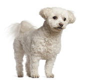 Bichon Frise, 7 years old, standing Royalty Free Stock Photos