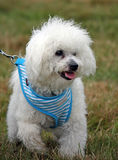 Bichon Frise. Cute little bichon frise puppy out on a walk in the countryside in close-up Royalty Free Stock Image