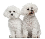 Bichon frise, 9 and 5 years old, sitting Stock Image