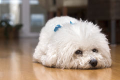 Bichon frise alone at home. Dog bichon frise lying down on the floor of her home, alone, waiting for her owner royalty free stock photos