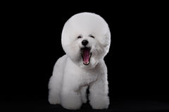 Bichon frise. Beautiful portrait of a Bichon Frise dog breed  on a black background Stock Image