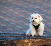 Bichon Frise on a Bench. A cute bichon dog sits patiently on a park bench Royalty Free Stock Photo