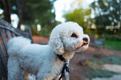 Bichon Frise on Bench. Walnut Creek, United States - October 06, 2016:  Bichon frise dog standing on a bench at dawn and looking upwards, October 6, 2016 Stock Photos