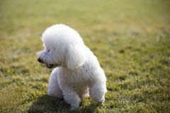 Bichon frise. French: Bichon Fris, meaning `white curly pet puppies` native to the Mediterranean region, is a small dog breeds. It`s a common pet that looks Royalty Free Stock Photography