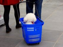 A bichon frise in a blue shopping cart Royalty Free Stock Photography