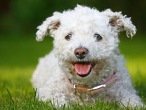 Bichon Frise dog. Portrait of cute Bichon Frise dog outdoors Royalty Free Stock Image