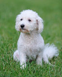 Bichon Frise dog. Portrait of a Bichon Frise dog sitting on the grass Royalty Free Stock Images
