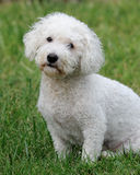 Bichon Frise dog Royalty Free Stock Images