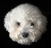 Bichon frise dog. Snowball Head of Bichon Frise dog isolated on black background Royalty Free Stock Photo