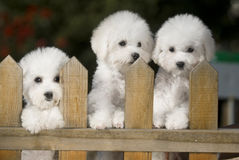 Bichon Frise dog. Compared to the bear dog's type is the small dog, the body weight about 6k.g, the height is 23cm - 30cm. Originates in France, the name origin stock photo