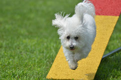 Bichon Frise at a Dog Agility Trial. Bichon Frise Leaping Off a Teeter-Totter at a Dog Agility Trial Stock Photography