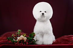Bichon Frise dog in a dark Studio. With flowers Stock Photos
