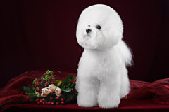 Bichon Frise dog in a dark Studio. With flowers Stock Photography
