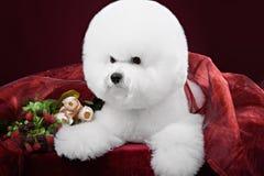 Bichon Frise dog in a dark Studio Royalty Free Stock Photos