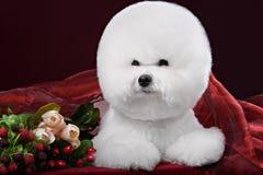 Bichon Frise dog in a dark Studio Royalty Free Stock Image