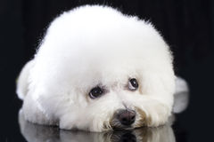Bichon Frise dog Stock Image