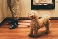 Bichon Frise dog next to it`s female owner in the kitchen Royalty Free Stock Image